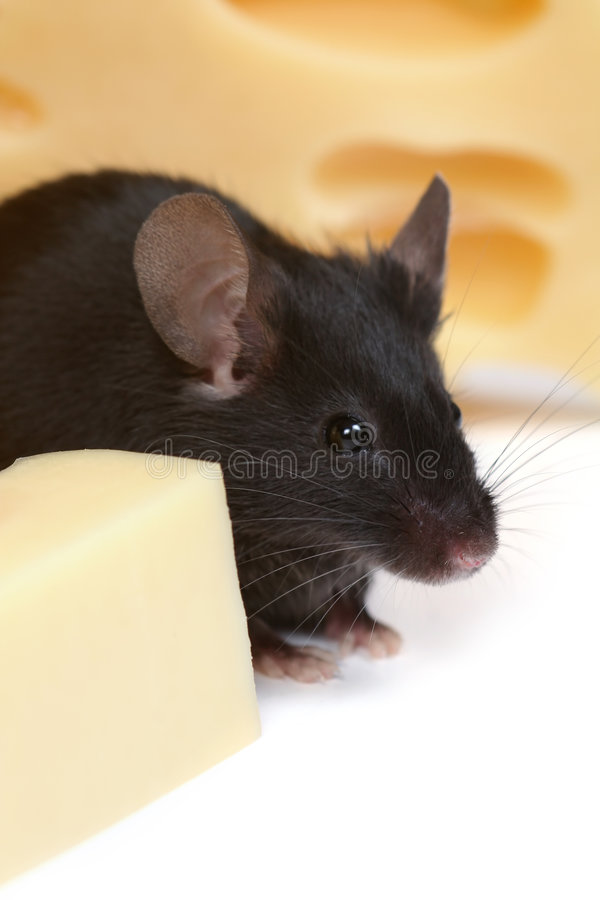 Download Mouse and cheese stock image. Image of background, portret - 1409409