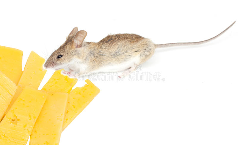 Download Mouse with cheese stock image. Image of furry, moving - 26635057