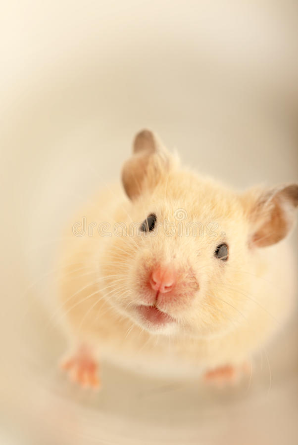 Mouse Closeup Stock Photo