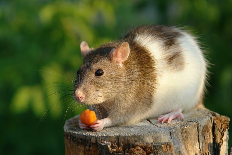 Mouse con una carota fotografia stock