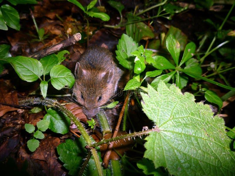 Mouse cowering in woodland floor vegetation. A Wee, sleekit, cowerin, timorous beastie royalty free stock images