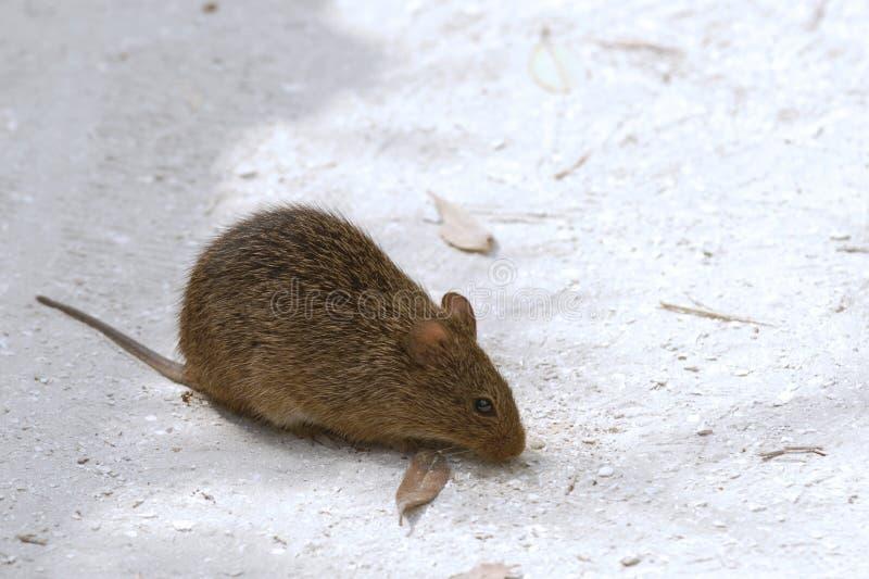 Mouse di campo fotografie stock