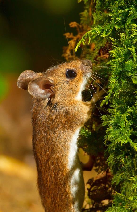 Mouse di legno immagine stock libera da diritti