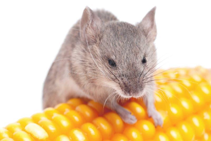 Mouse di raccolta fotografia stock
