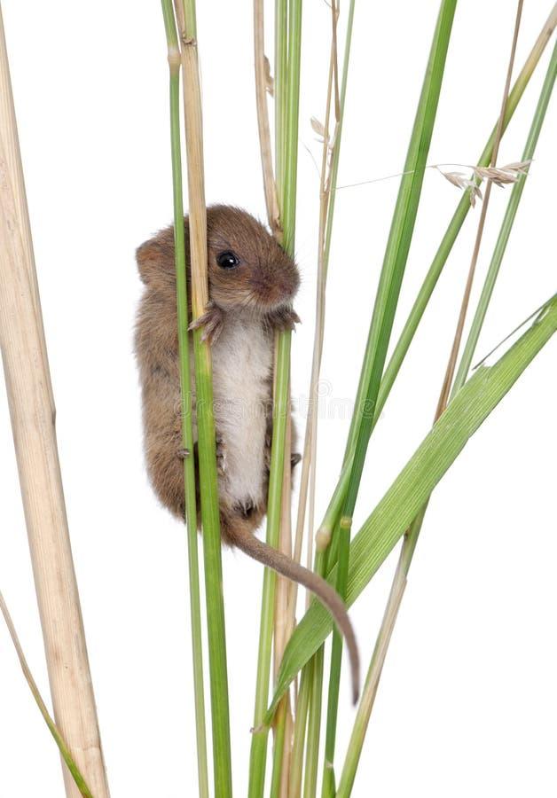 Mouse di raccolta che si arrampica sulla lamierina di erba immagine stock libera da diritti