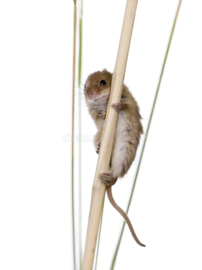 Mouse di raccolta, davanti ad una priorità bassa bianca immagine stock