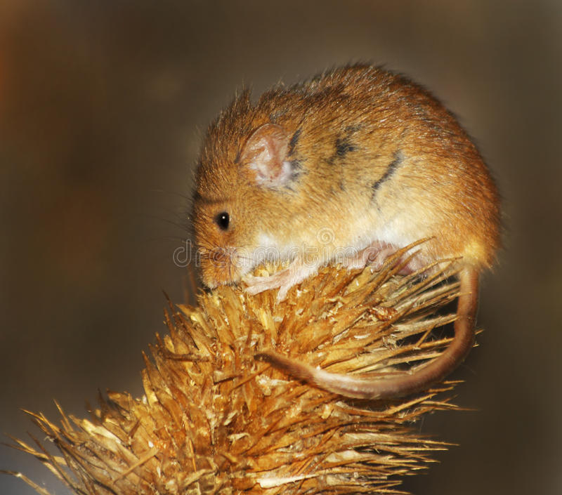 Mouse di raccolta molto piccolo fotografia stock libera da diritti