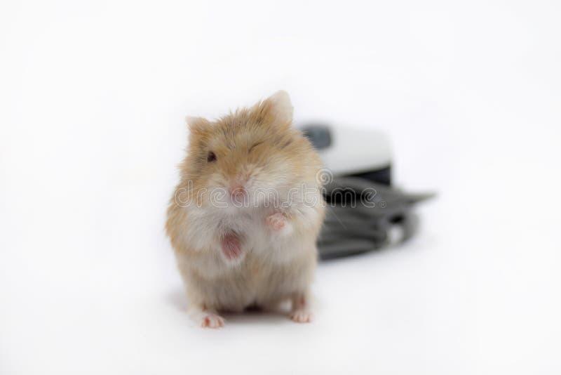 Mouse di strizzatina d'occhio. fotografie stock libere da diritti