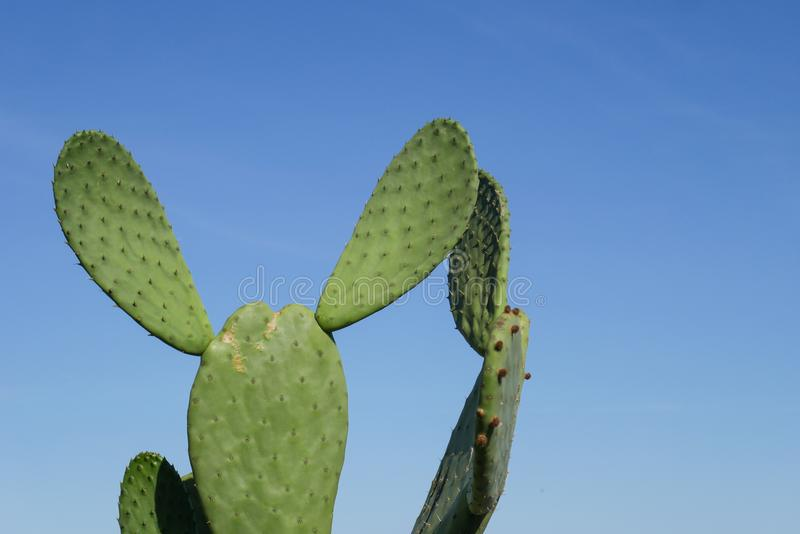 Mouse ear shaped cactus, detail and closeup of cactus with blue sky background royalty free stock photography