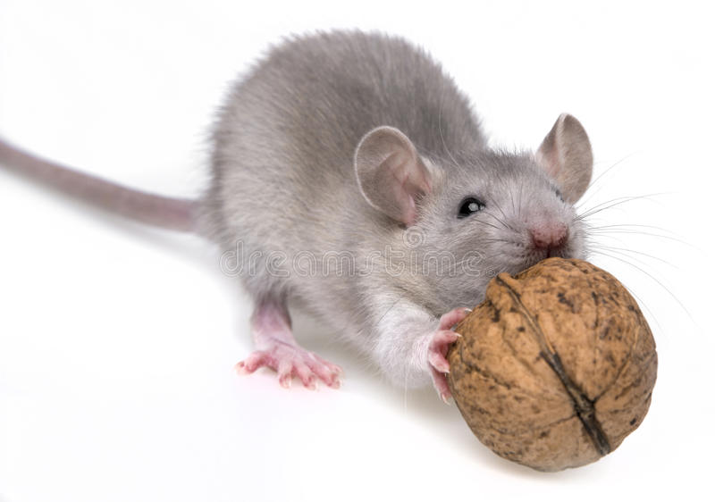Rat eating almonds stock photo  Image of food, face, little