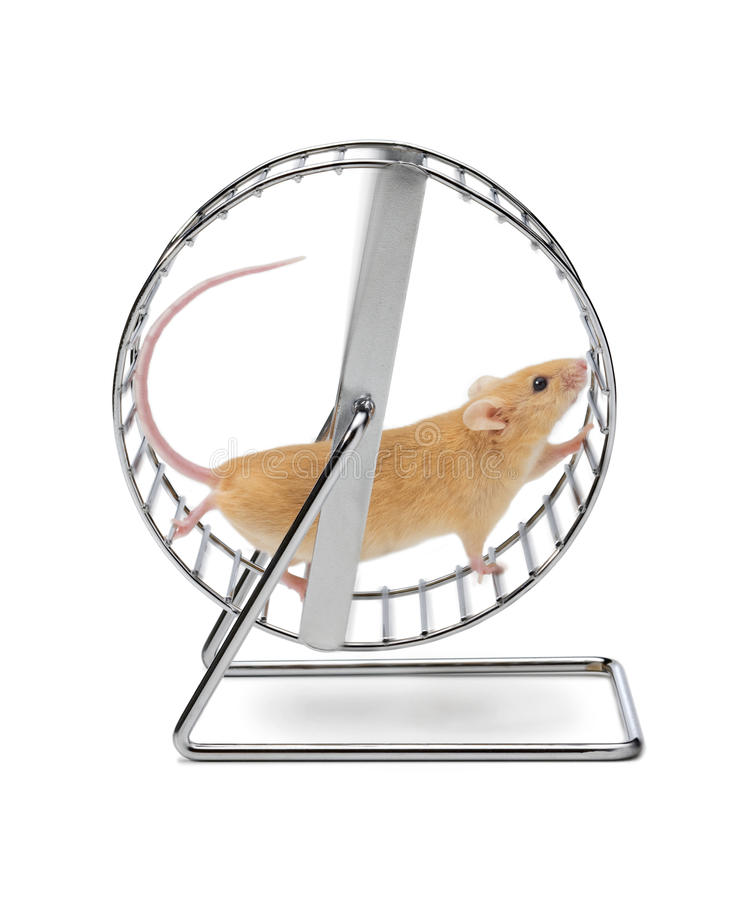 Mouse Hamster Exercise Wheel. A mouse running on an exercise wheel isolated on white