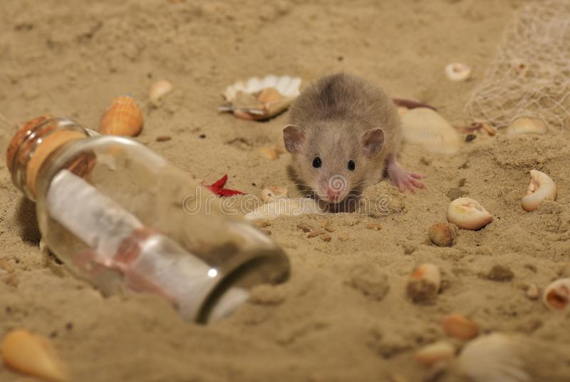 Mouse, Fauna, Mammal, Muridae stock photography