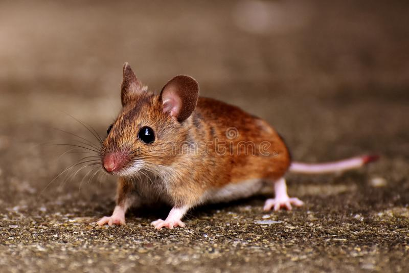Mouse, Fauna, Muridae, Mammal royalty free stock photography