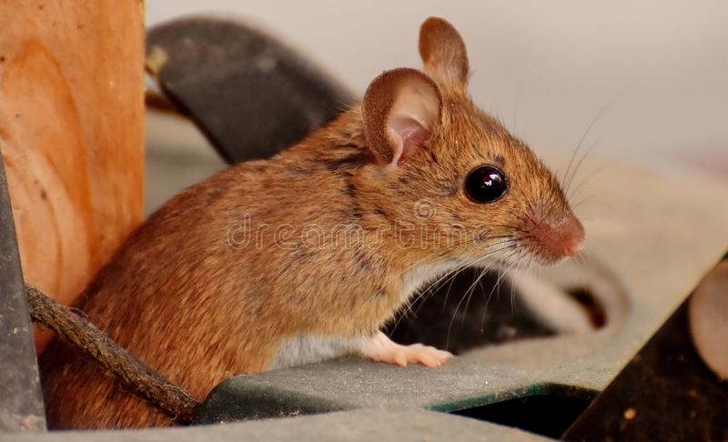 Mouse, Fauna, Muridae, Mammal stock photography