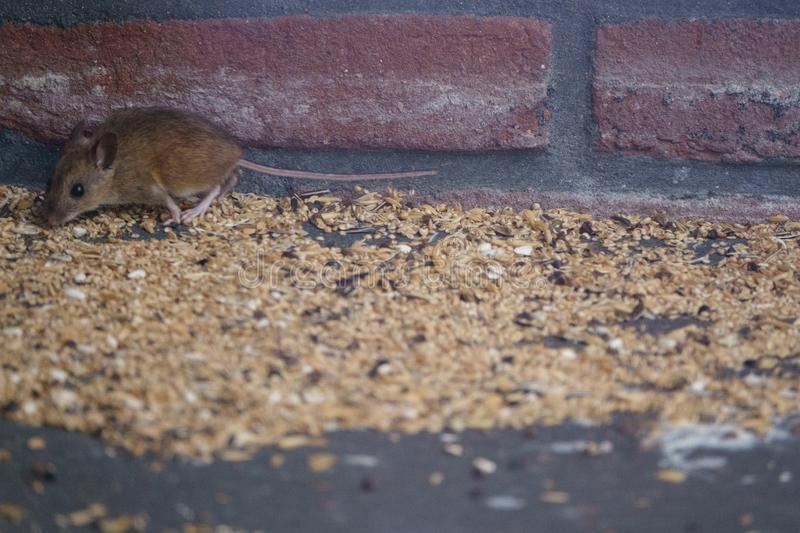 A mouse is feasting on seeds spilled from a bird feeder. Feeding birds in the garden will attrackt rodents, since birds spill a lot of food stock photo
