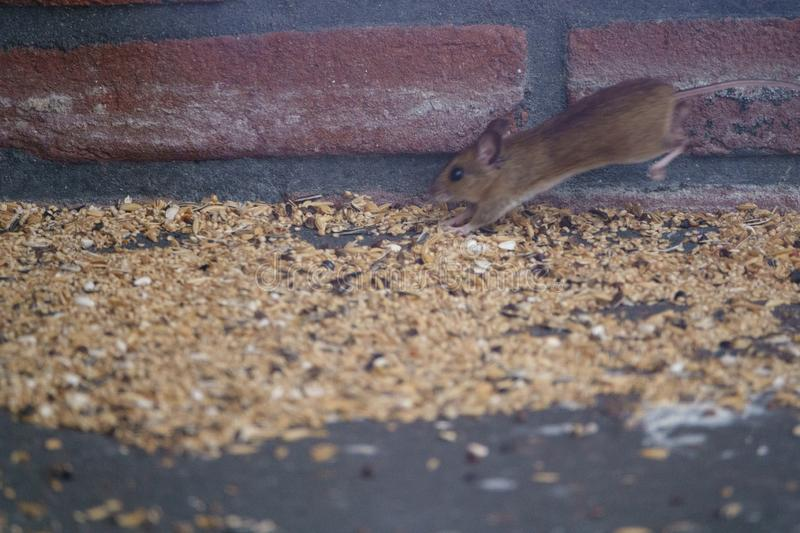 A mouse is feasting on seeds spilled from a bird feeder. Feeding birds in the garden will attrackt rodents, since birds spill a lot of food stock photography