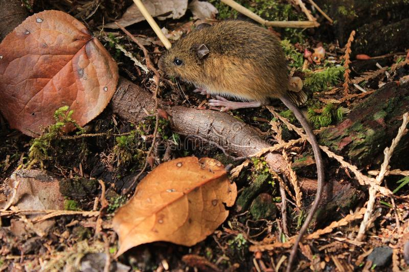 Mouse on the Forest Floor. A mouse sits amongst the leaves on the forest floor royalty free stock photos