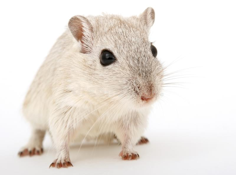 Mouse, Gerbil, Muridae, Rat royalty free stock photography