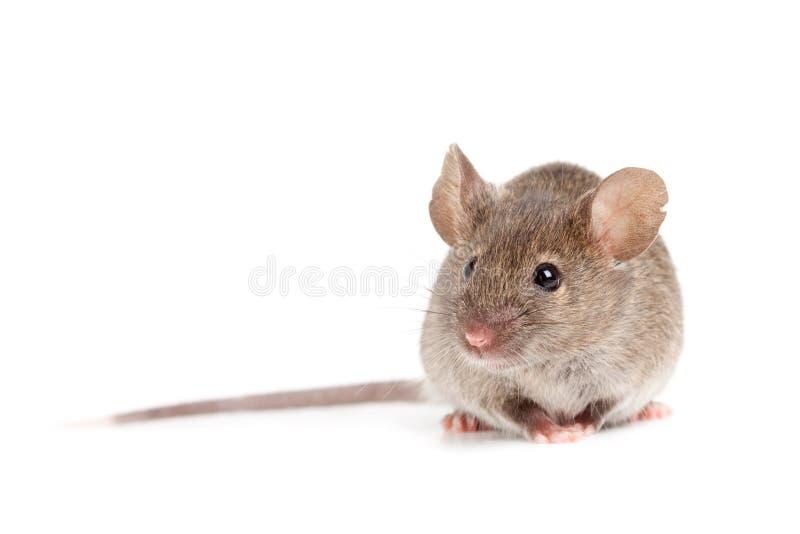 Mouse grigio isolato su bianco immagine stock libera da diritti