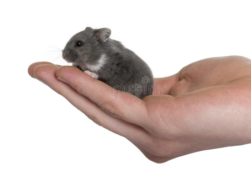 Mouse In A Human Hand Stock Image
