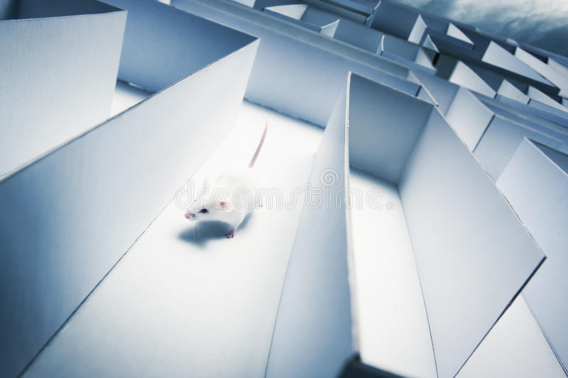 Mouse inside a labyrinth wih dramatic lighting. Mouse running inside a maze royalty free stock photo