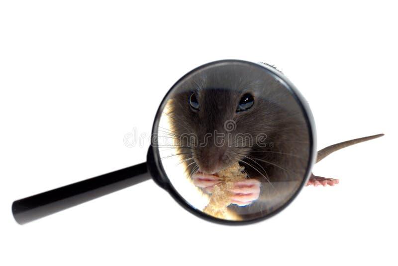 Mouse in lente d'ingrandimento immagini stock