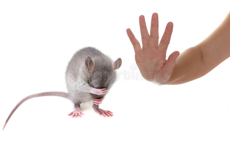 Mouse. A little mouse hidingher muzzle royalty free stock photography