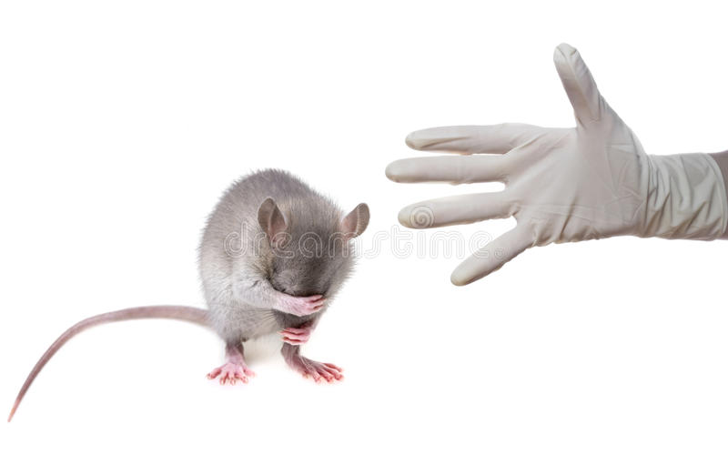Mouse. A little mouse hidingher muzzle stock photography