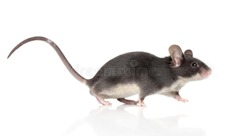 Mouse with a long tail running stock images