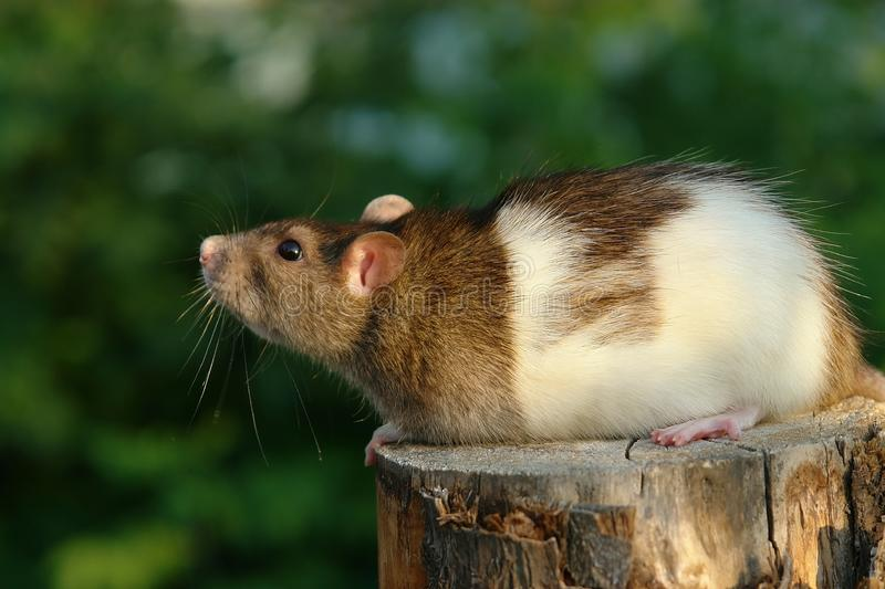 Download Mouse looking up stock photo. Image of adroit, domestic - 3161858