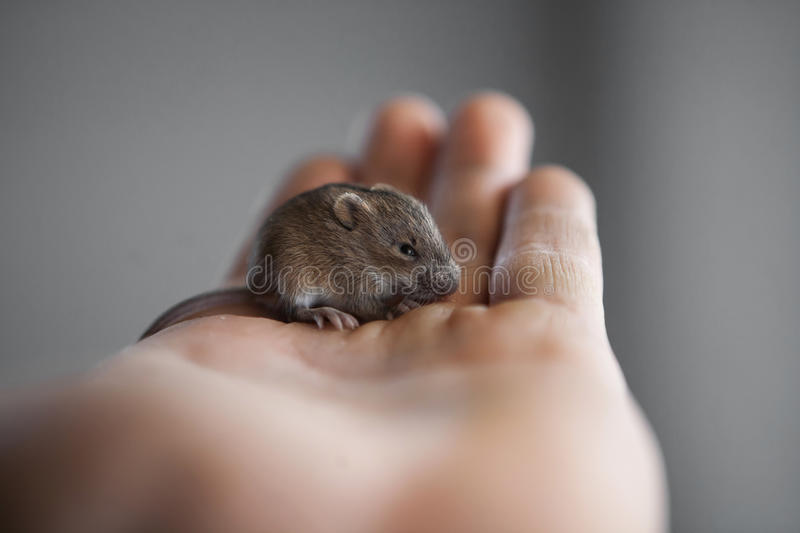 Mouse in my hand royalty free stock images