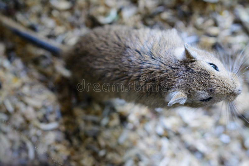 Mouse. Pet taken from bird view stock photo