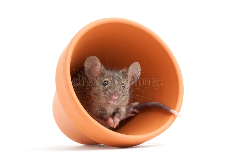 Mouse in POT isolato fotografia stock