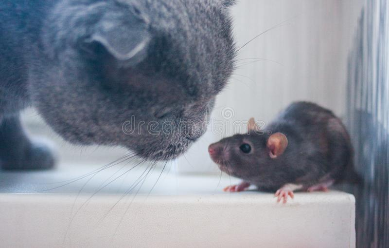 The mouse, the rat is cute and the cat. getting to know. Each other. gray cat and gray mouse. inhale the smell royalty free stock photography