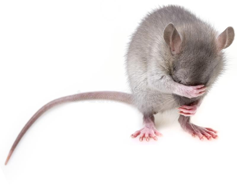 Mouse, Rat, Muridae, Mammal royalty free stock image