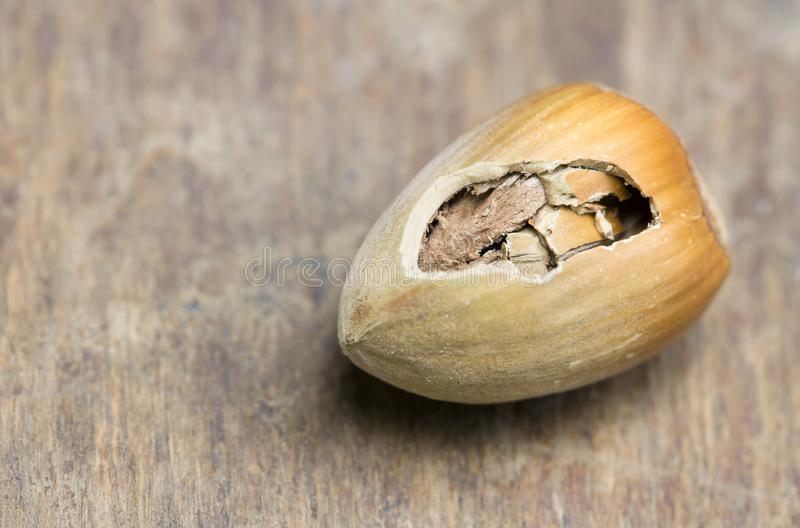 Mouse eating food, walnut with a hole royalty free stock image