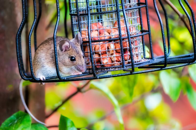 Mouse stealing nuts from a bird feeder stock photos