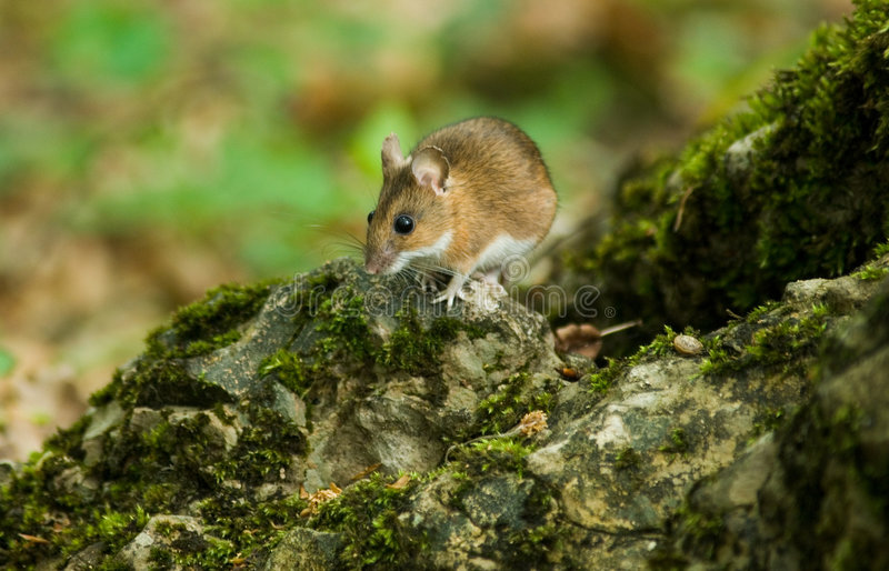 Mouse on stone royalty free stock image