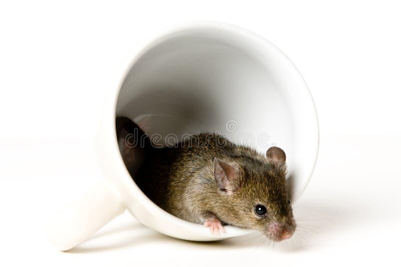 Mouse in tazza fotografia stock libera da diritti