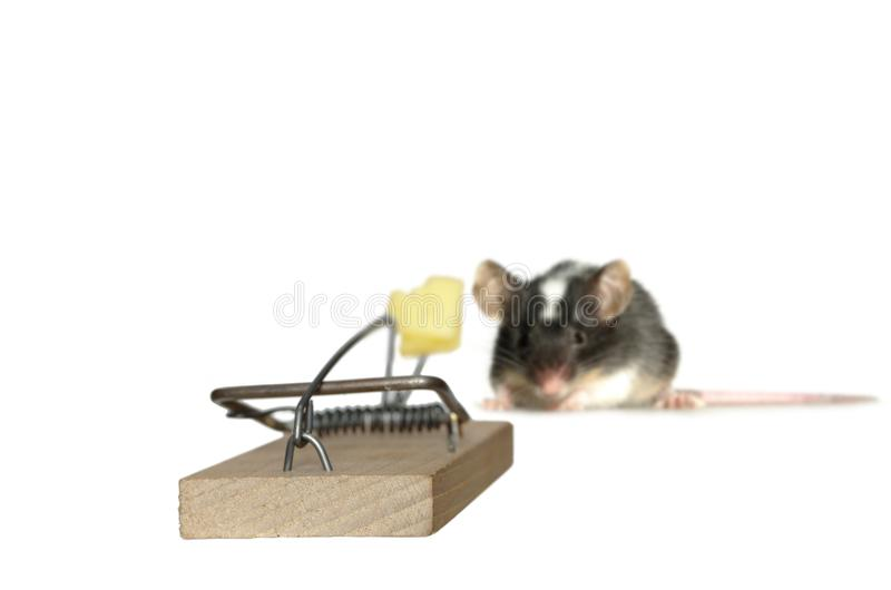 Mouse and trap. On white background royalty free stock images