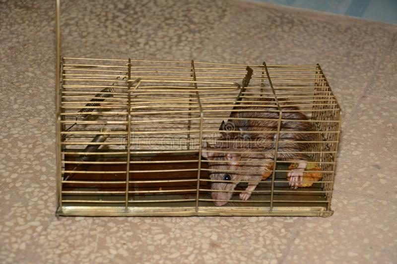 Mouse in a trap stock photography