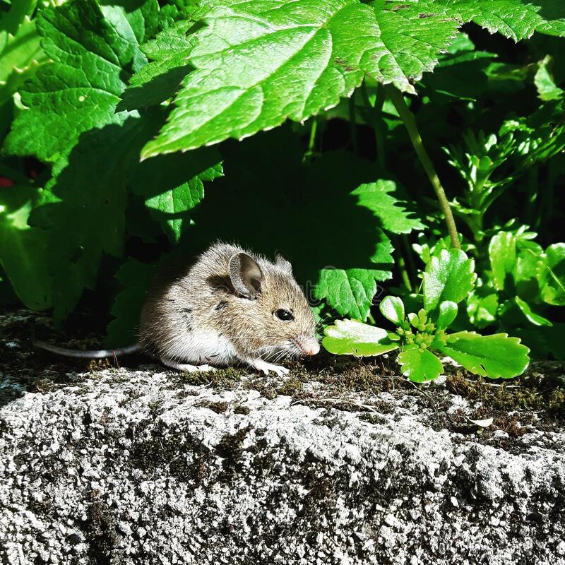 Mouse under leaves