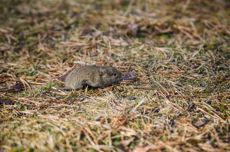 Mouse vole, close-up stock images