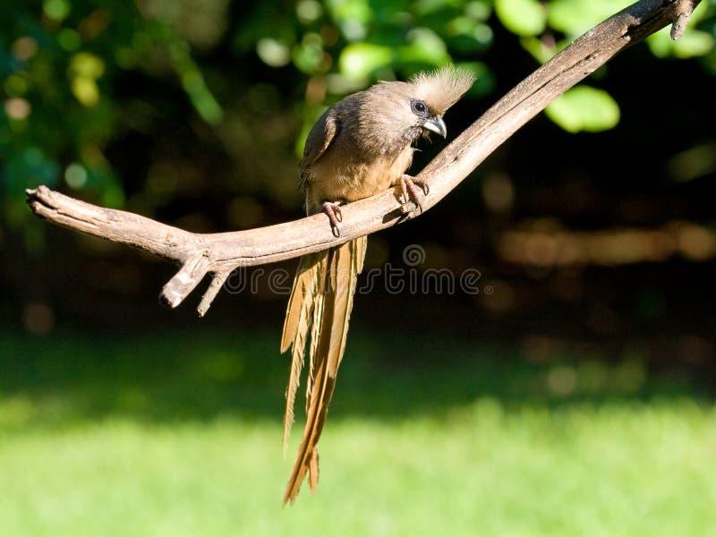 Mousebird manchado adulto que muestra apagado la cola larga imagenes de archivo