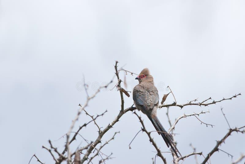 Mousebird Red-faced fotografia stock
