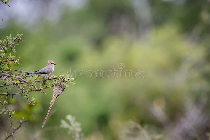 mousebird Vermelho-enfrentado que senta-se em um ramo foto de stock royalty free
