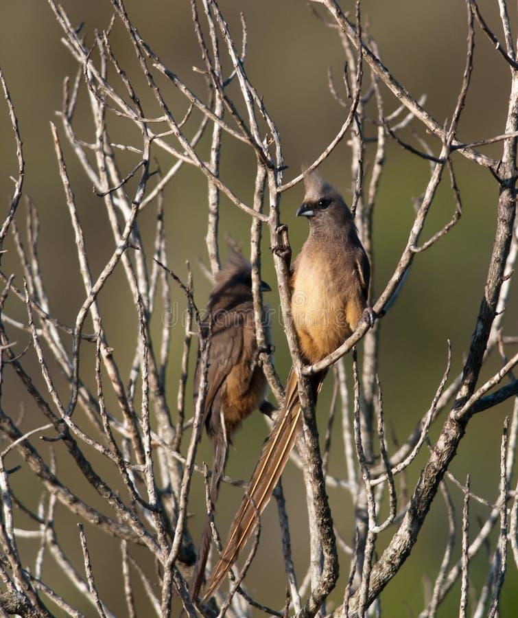 Mousebirds dans un buisson sec photographie stock libre de droits