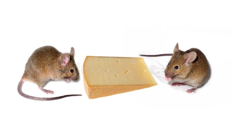 mouses avec du fromage photographie stock