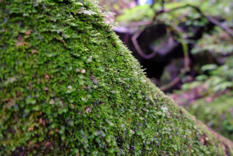 Download Mousse image stock. Image du sombre, mousse, vert, arbre - 77150101