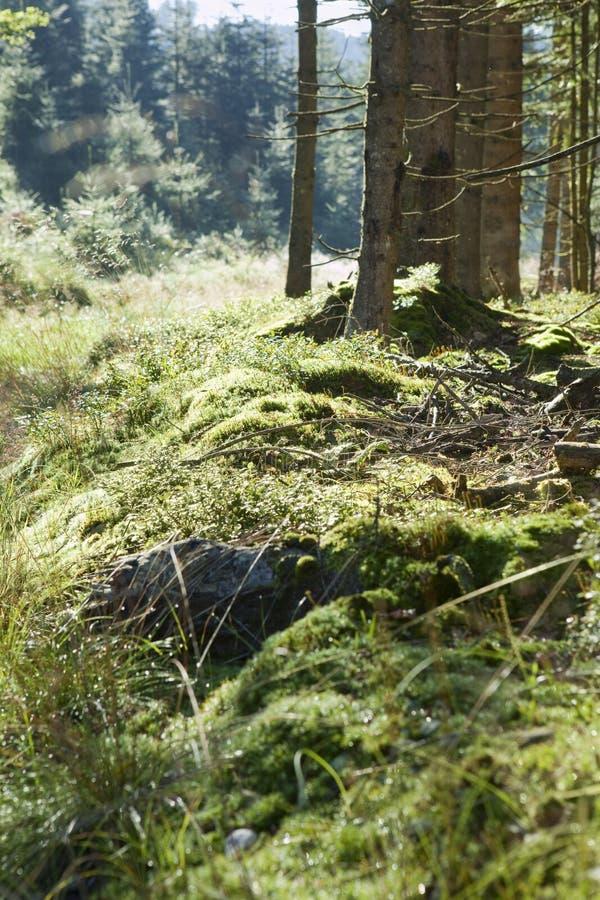 Mousse, brindilles et arbres autrichiens de forêt à l'arrière-plan photos libres de droits